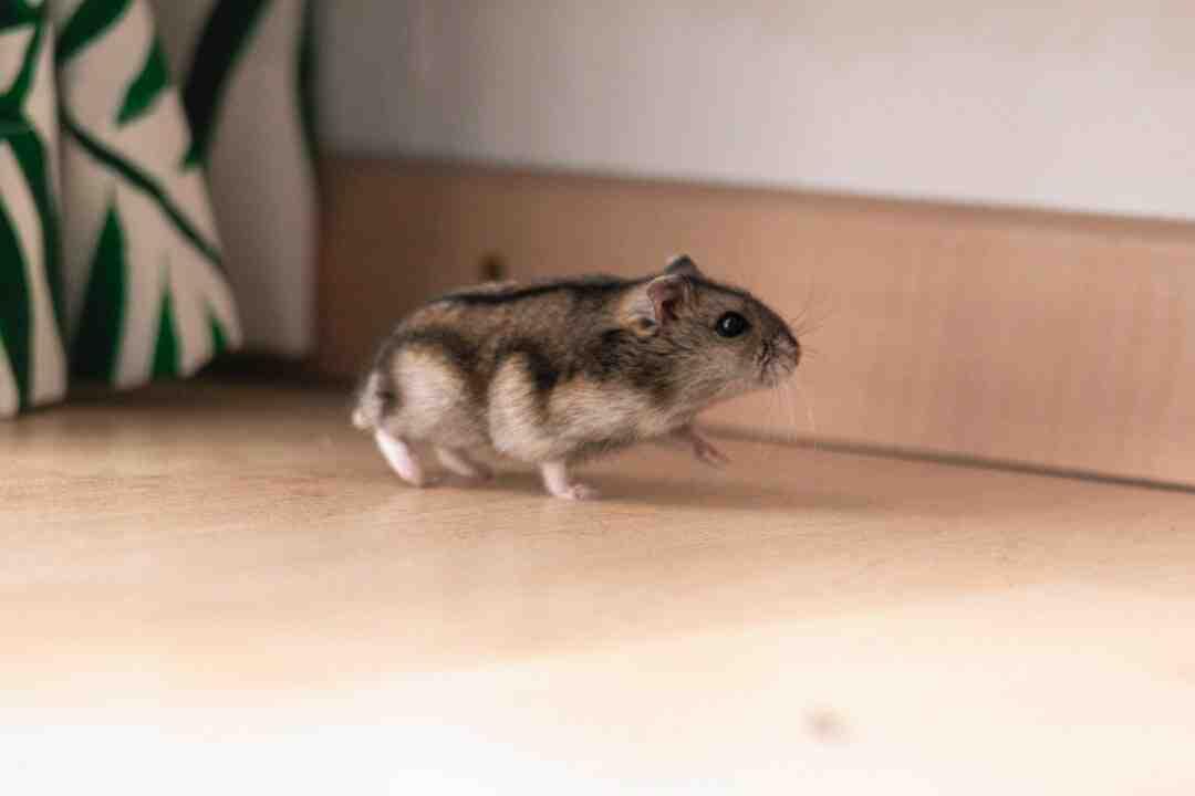 Como os hamster são?