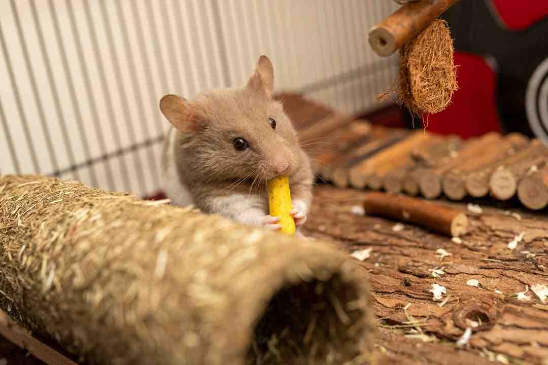 O que fazer quando o hamster está com prisão de ventre?