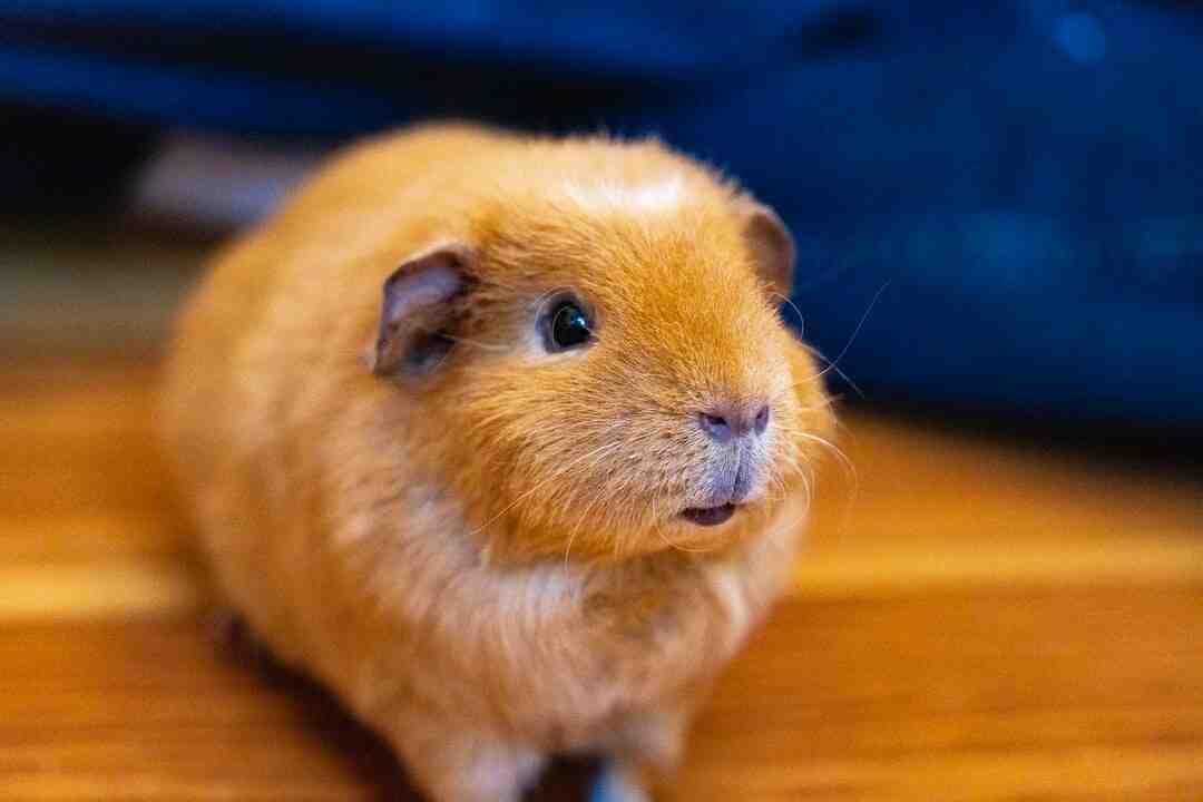 O que pode matar um hamster?