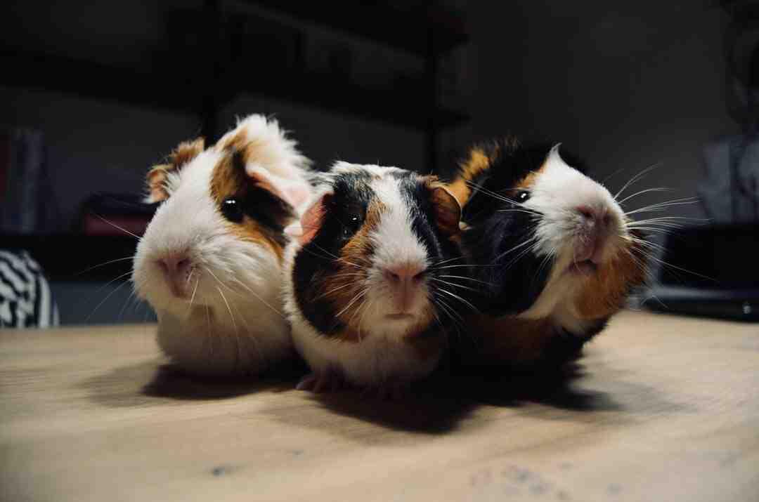 Qual antibiótico posso dar para o hamster?