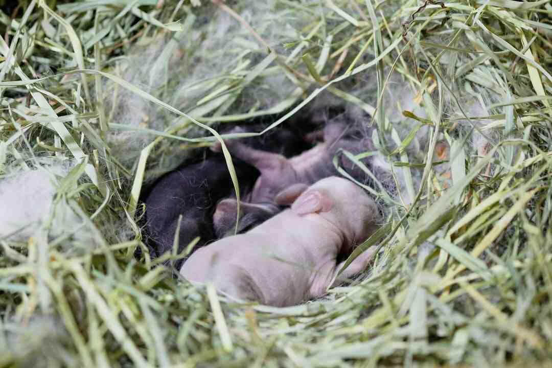 Como é que nasce o coelho?