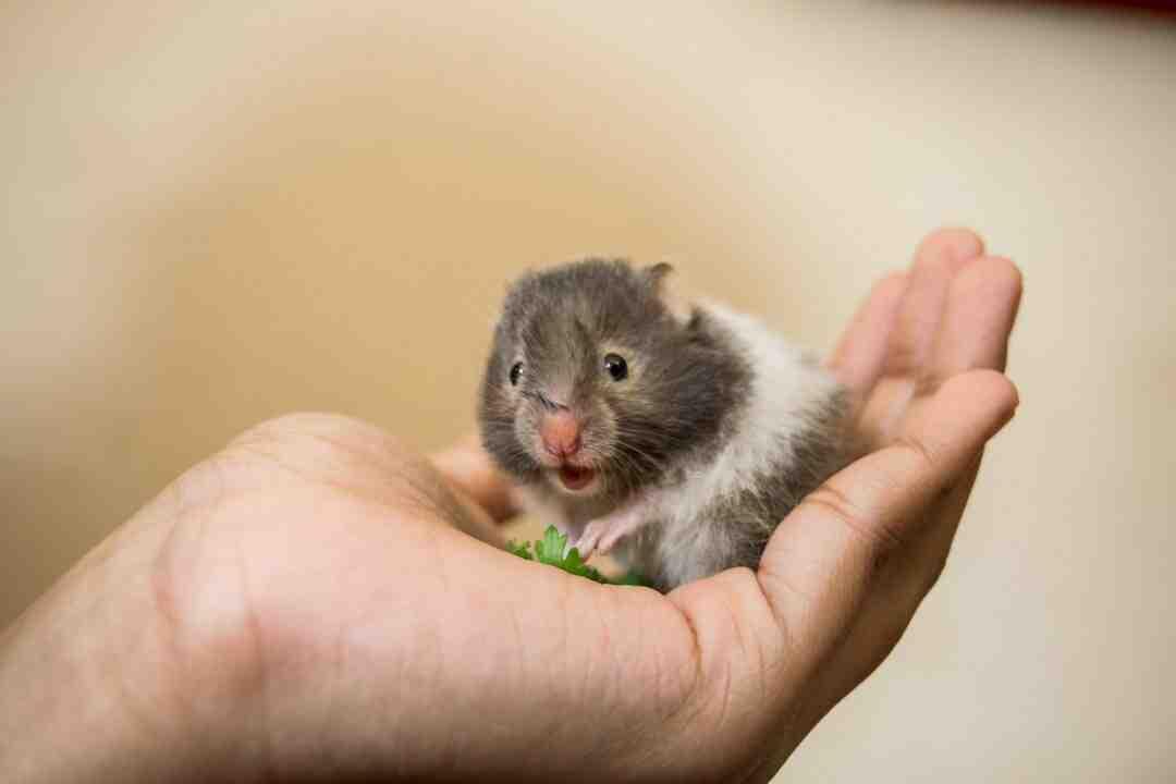 Como se chama o hamster?