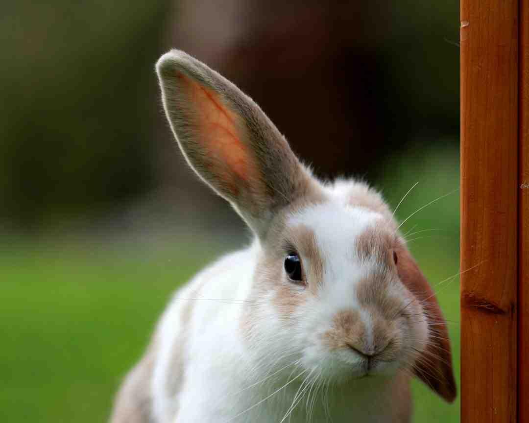 O que a urina do coelho transmite?