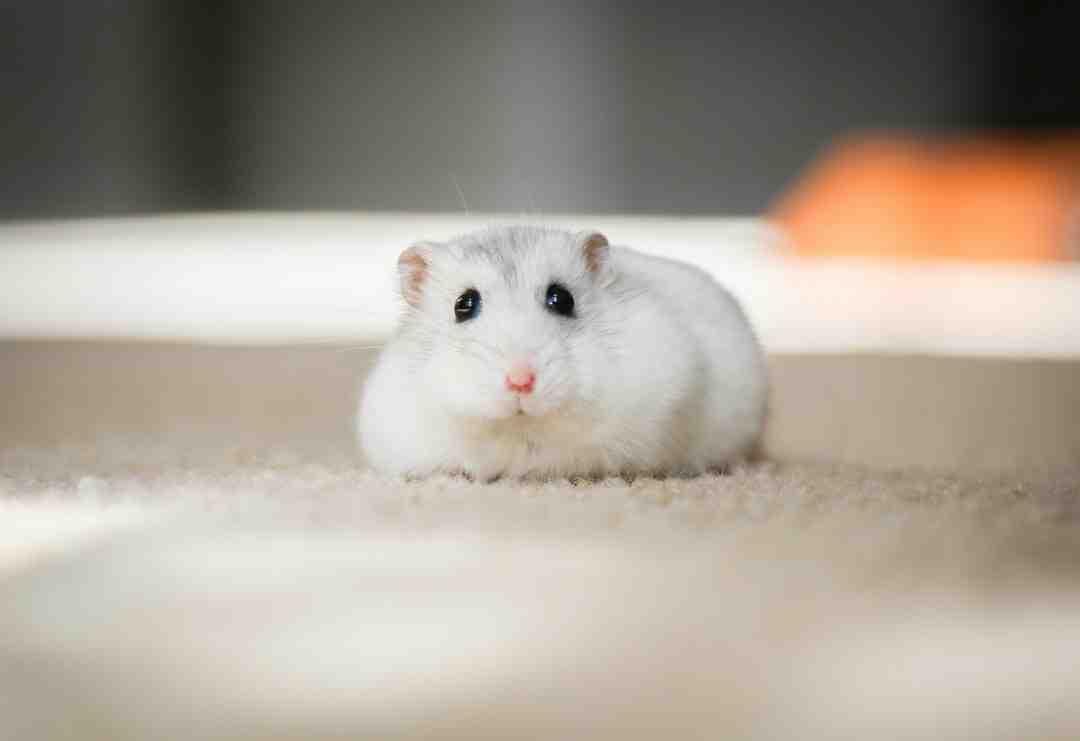 O que colocar na gaiola do hamster para ele roer?