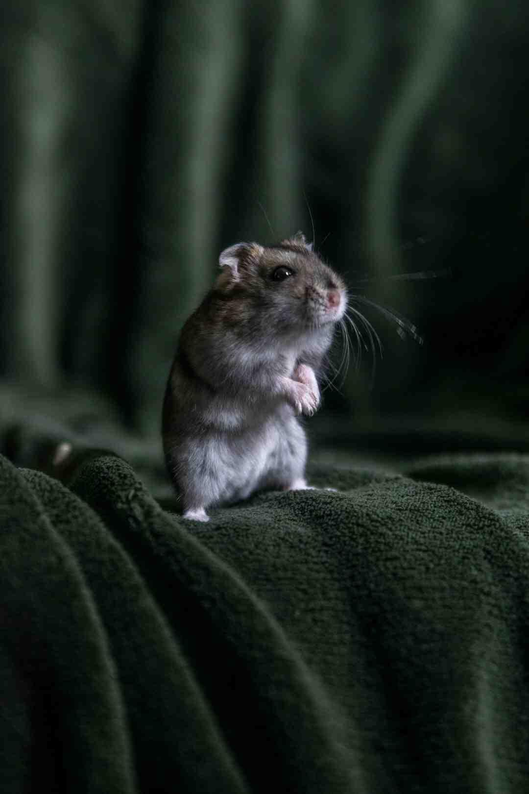 O que não pode fazer com o hamster?