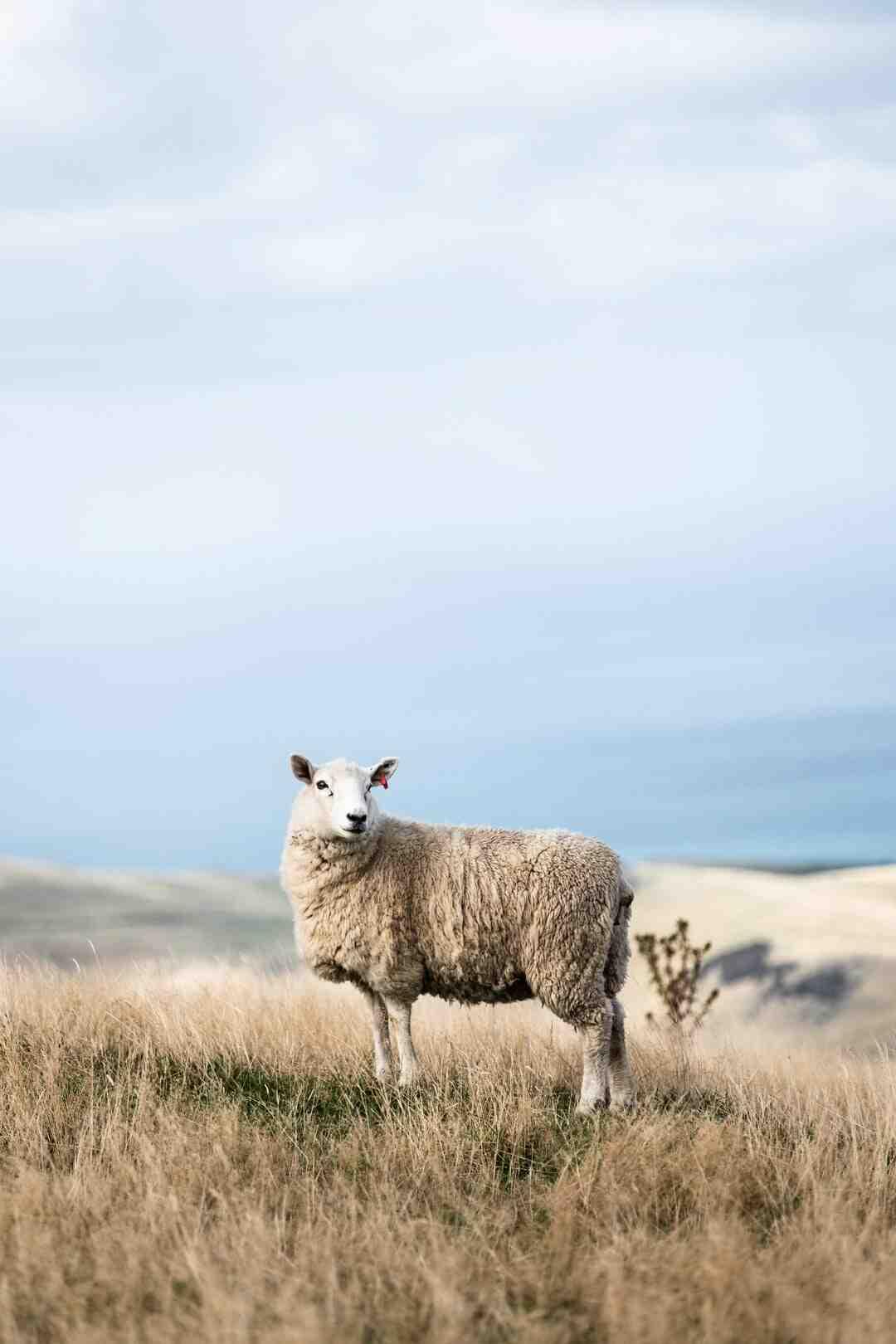 Pode criar uma ovelha em casa?