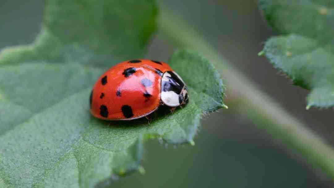Qual a importância da joaninha para a natureza?