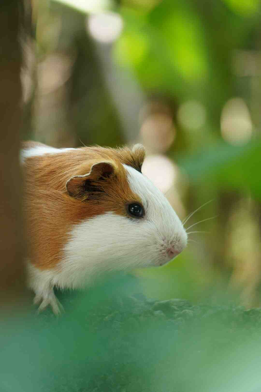 Qual é o melhor tipo de hamster?
