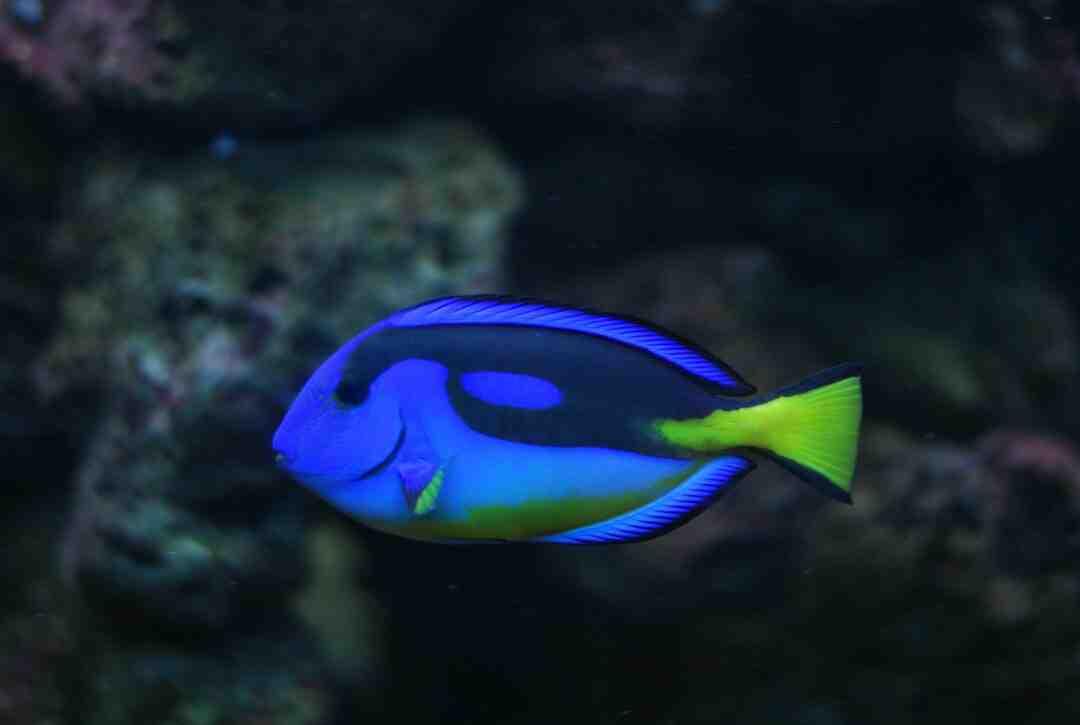 Quando o peixe betta está morrendo?