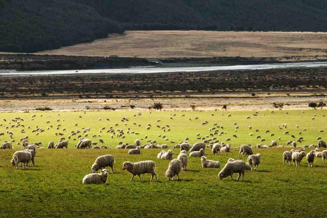 Quantas cabeças de ovinos por hectare?