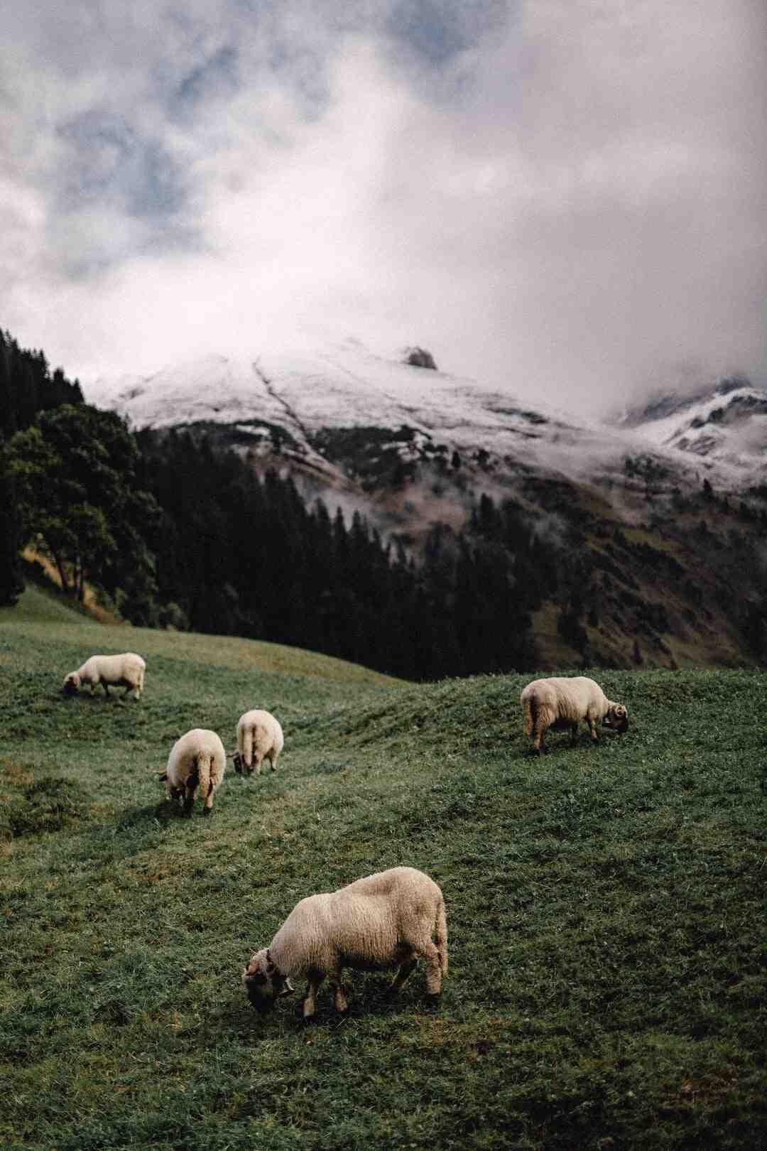 Quantos metros quadrados preciso para criar uma ovelha?