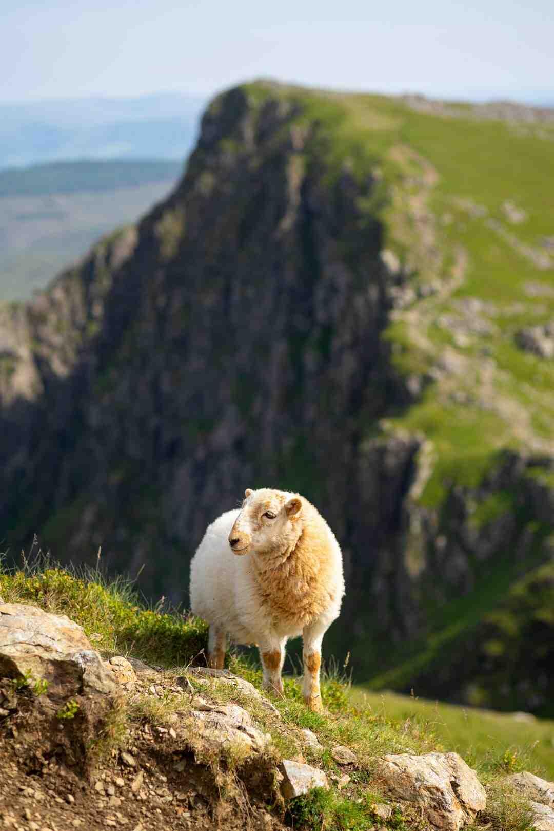 Quantos ovinos por metro quadrado em confinamento?