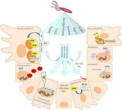 Que remédio é bom para matar bactéria no estômago?